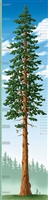 Growth Chart - Tallest Tree